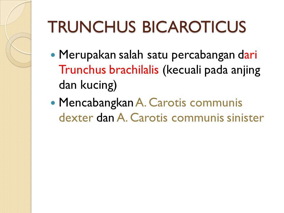 TRUNCHUS BICAROTICUS Merupakan salah satu percabangan dari Trunchus brachilalis (kecuali pada anjing dan kucing)