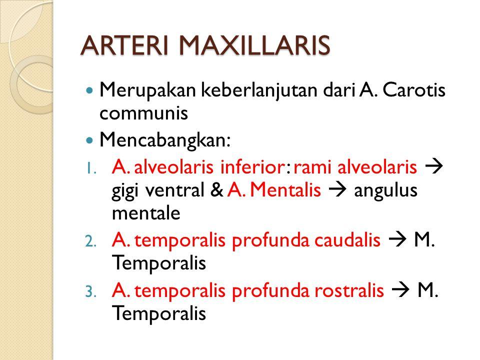 ARTERI MAXILLARIS Merupakan keberlanjutan dari A. Carotis communis
