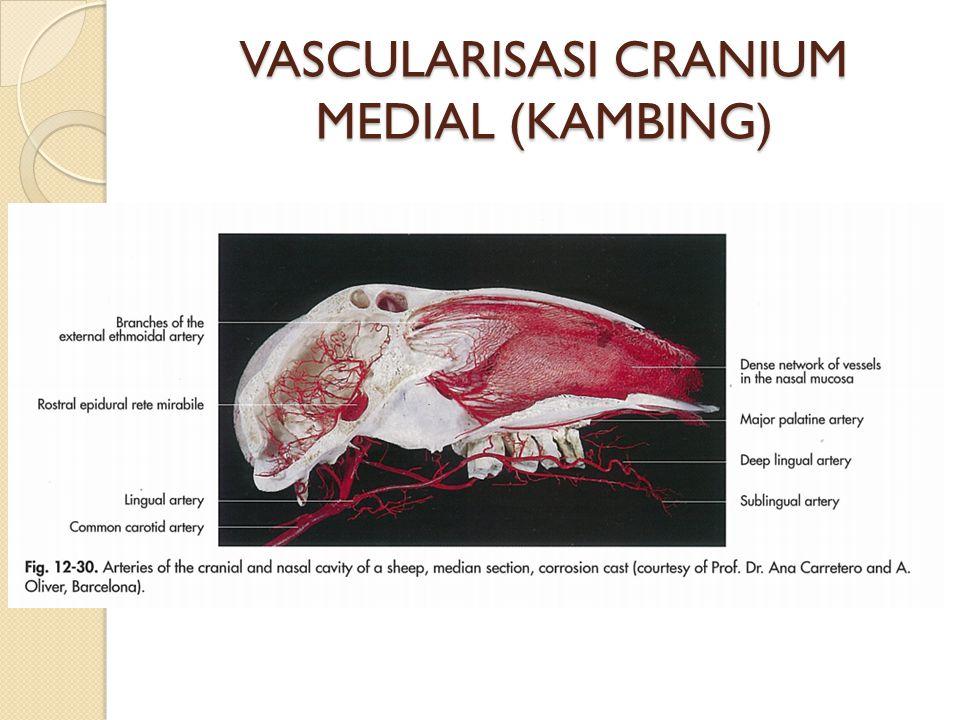 VASCULARISASI CRANIUM MEDIAL (KAMBING)