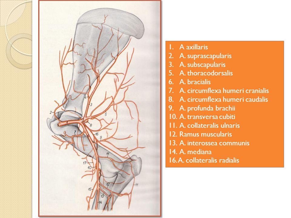 A axillaris A. suprascapularis. A. subscapularis. A. thoracodorsalis. A. bracialis. A. circumflexa humeri cranialis.