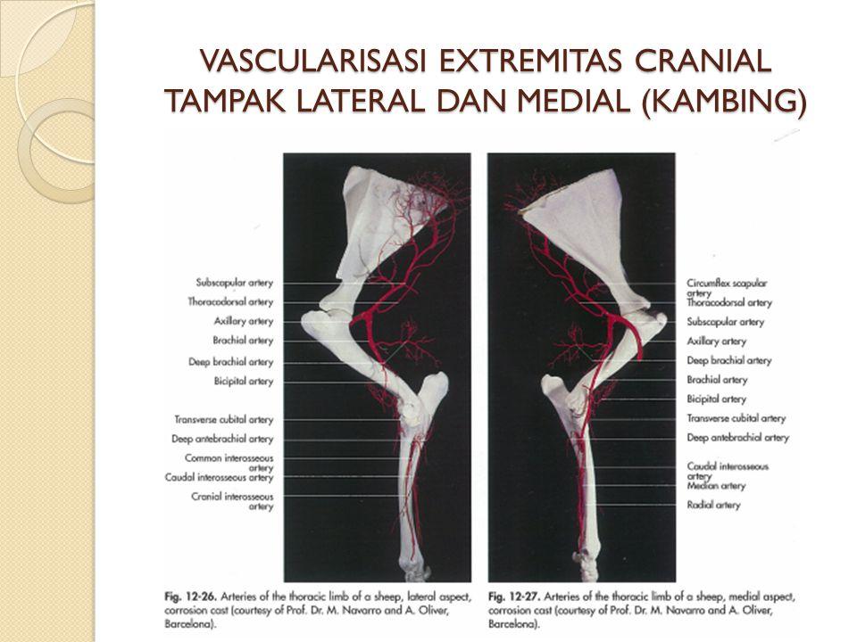 VASCULARISASI EXTREMITAS CRANIAL TAMPAK LATERAL DAN MEDIAL (KAMBING)