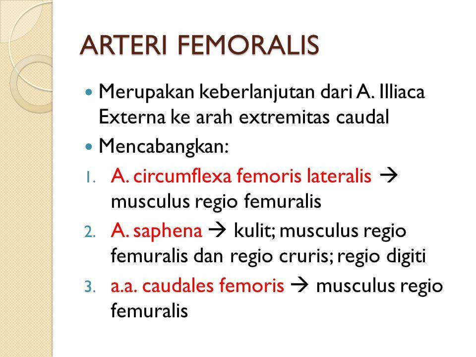 ARTERI FEMORALIS Merupakan keberlanjutan dari A. Illiaca Externa ke arah extremitas caudal. Mencabangkan: