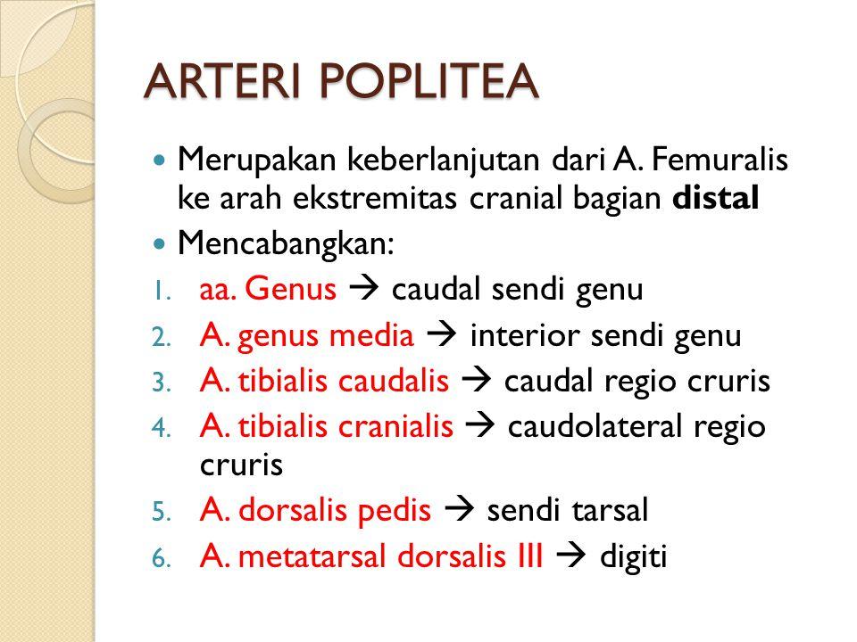 ARTERI POPLITEA Merupakan keberlanjutan dari A. Femuralis ke arah ekstremitas cranial bagian distal.