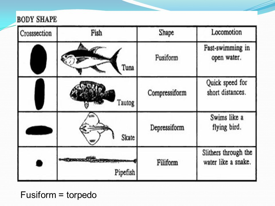 Fusiform = torpedo