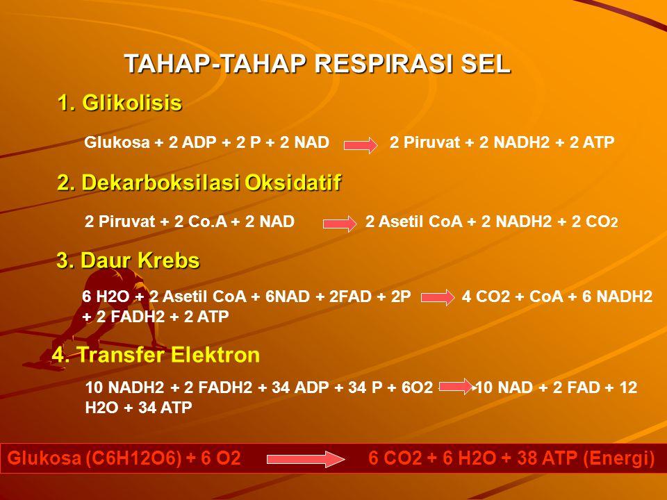 TAHAP-TAHAP RESPIRASI SEL
