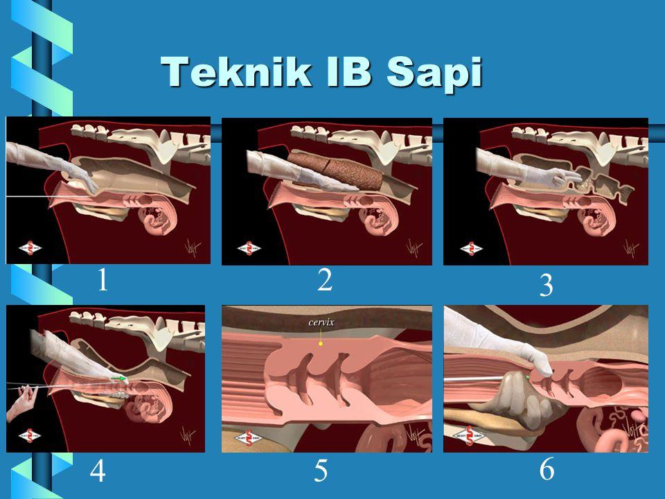 Teknik IB Sapi 1 2 3 4 5 6