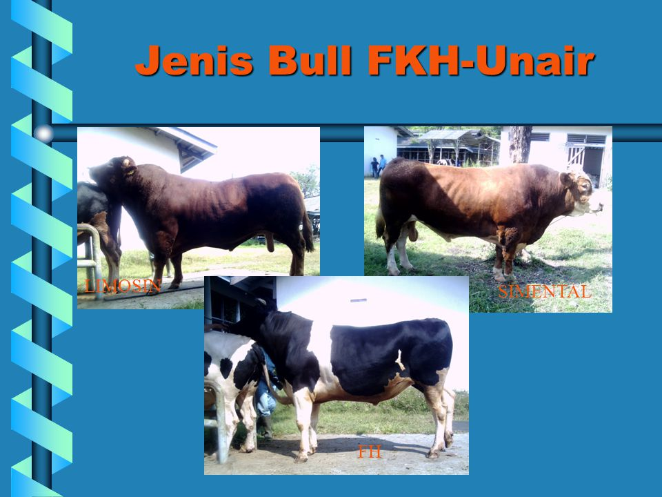 Jenis Bull FKH-Unair LIMOSIN SIMENTAL FH