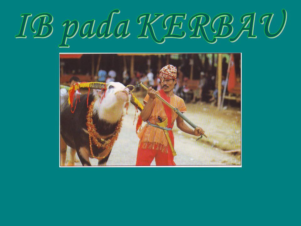 IB pada KERBAU