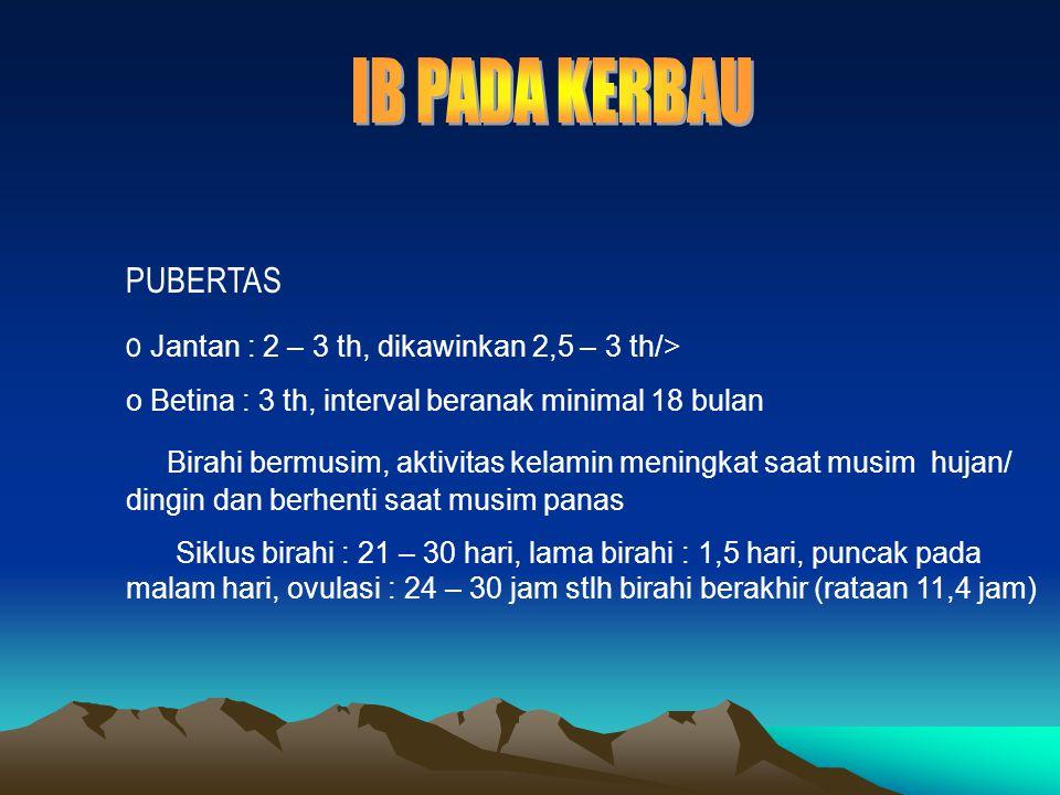 IB PADA KERBAU PUBERTAS Jantan : 2 – 3 th, dikawinkan 2,5 – 3 th/>