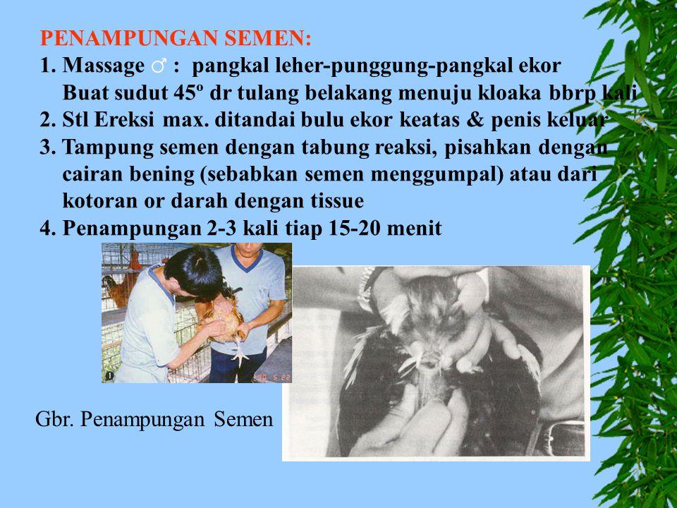 PENAMPUNGAN SEMEN: 1. Massage ♂ : pangkal leher-punggung-pangkal ekor. Buat sudut 45º dr tulang belakang menuju kloaka bbrp kali.