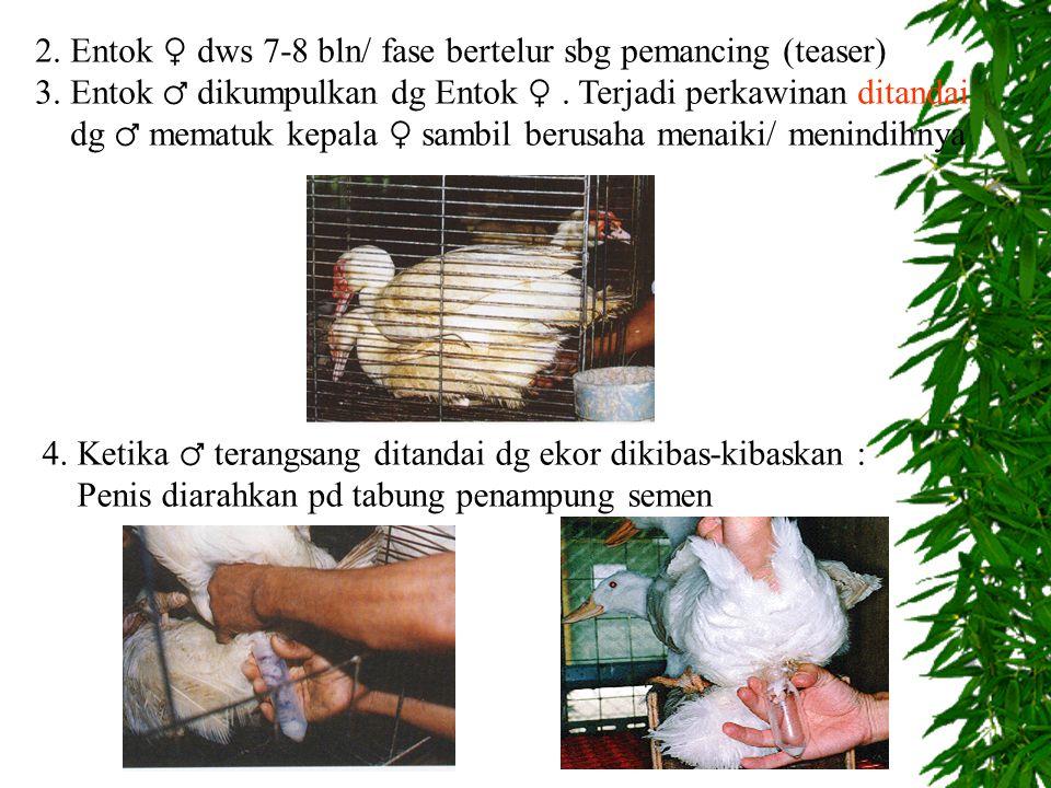 2. Entok ♀ dws 7-8 bln/ fase bertelur sbg pemancing (teaser)
