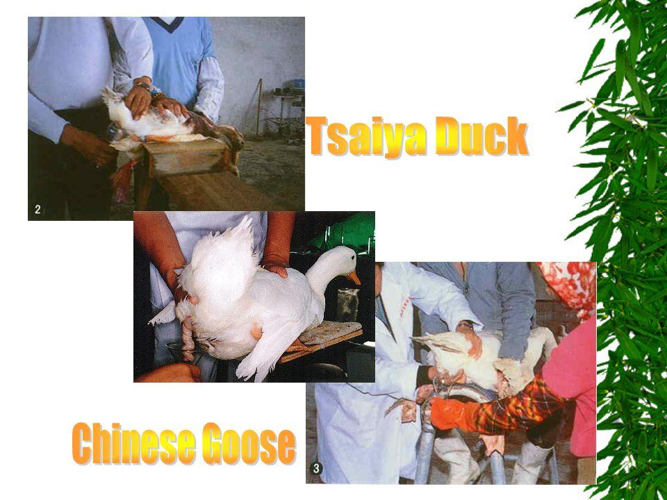 Tsaiya Duck Chinese Goose