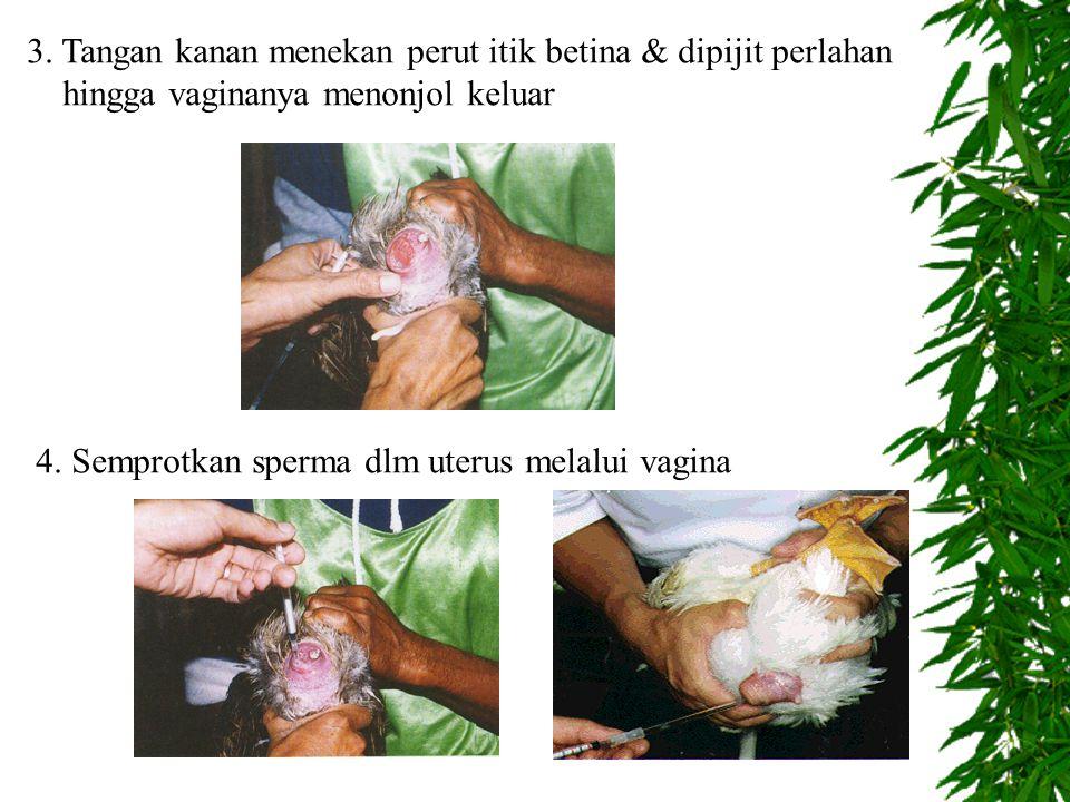 3. Tangan kanan menekan perut itik betina & dipijit perlahan