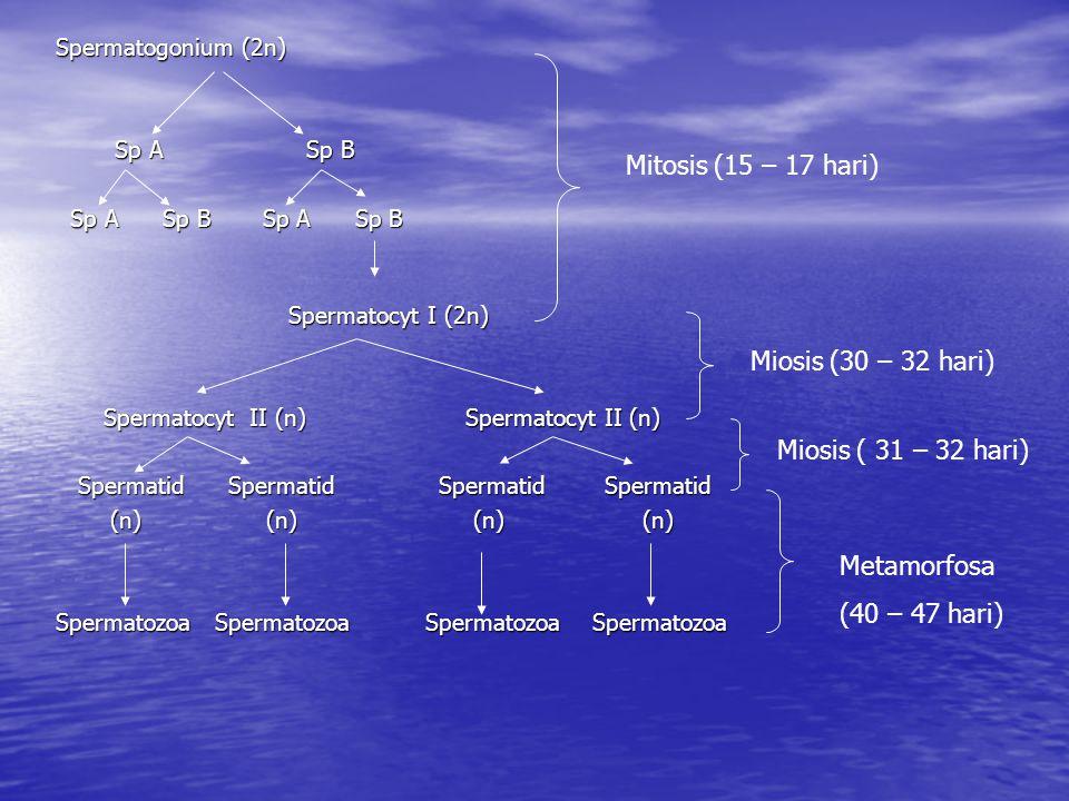 Mitosis (15 – 17 hari) Miosis (30 – 32 hari) Miosis ( 31 – 32 hari)