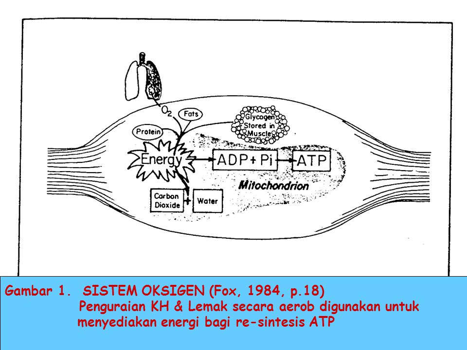 Gambar 1. SISTEM OKSIGEN (Fox, 1984, p.18)