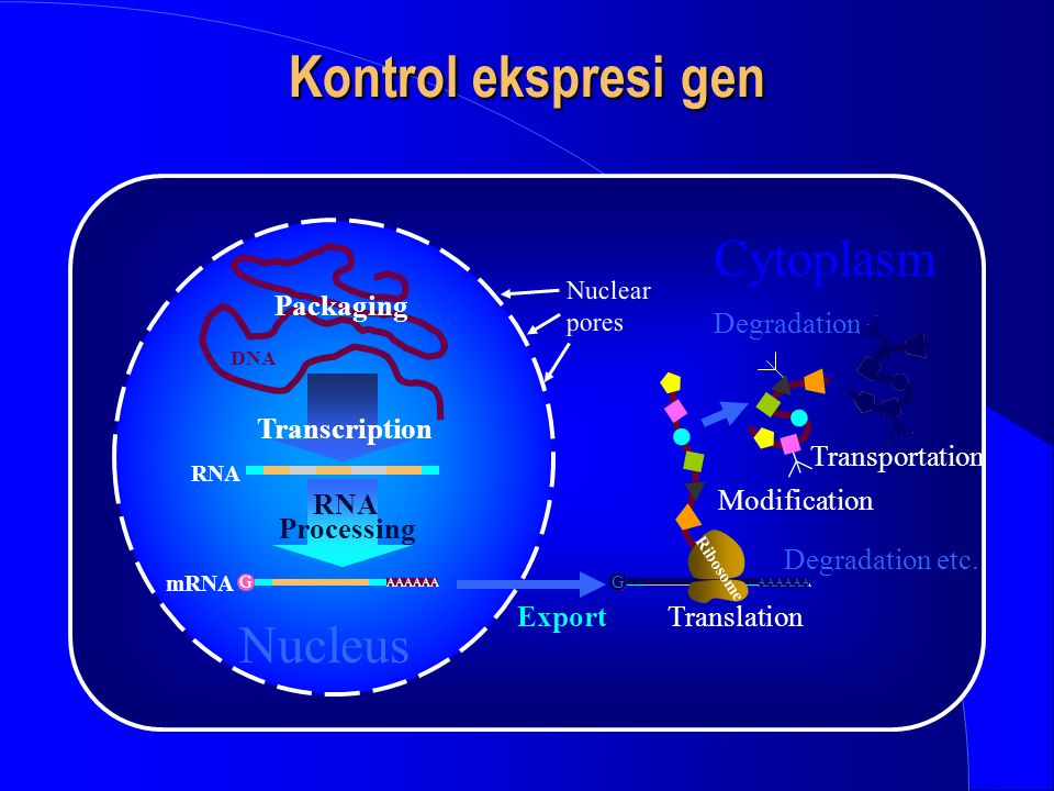 Kontrol ekspresi gen Cytoplasm Nucleus Packaging Degradation