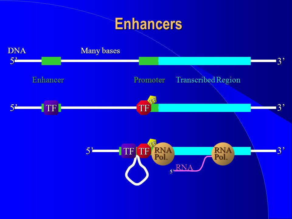 Enhancers 5' 3' 3' 5' TF TF 3' 5' TF DNA Many bases Enhancer Promoter