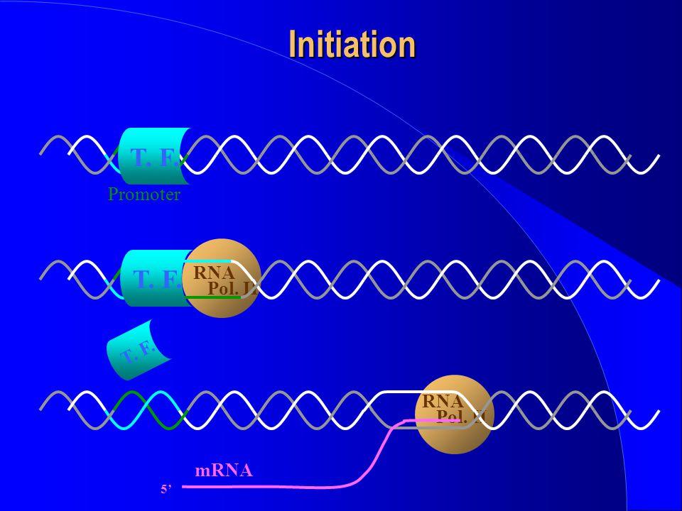 Initiation T. F. Promoter RNA Pol. II T. F. T. F. RNA Pol. II 5' mRNA