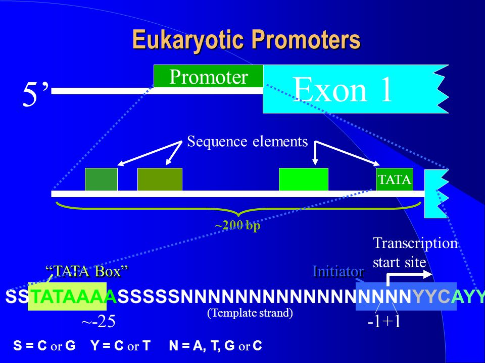 Exon 1 5' Eukaryotic Promoters Promoter