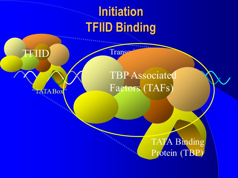 Initiation TFIID Binding