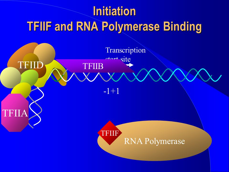 Initiation TFIIF and RNA Polymerase Binding