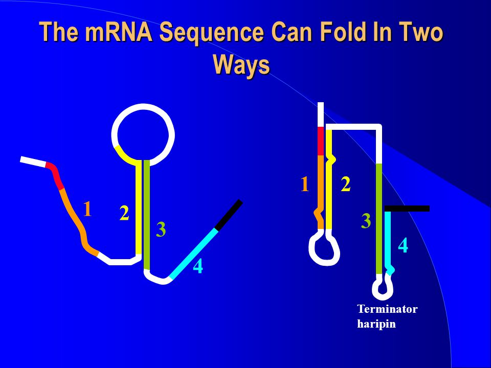 The mRNA Sequence Can Fold In Two Ways