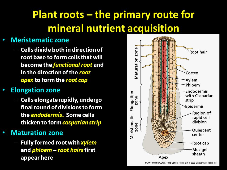 Plant roots – the primary route for mineral nutrient acquisition