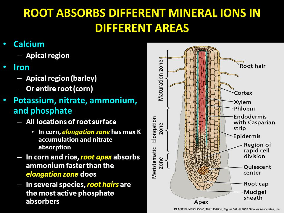 ROOT ABSORBS DIFFERENT MINERAL IONS IN DIFFERENT AREAS