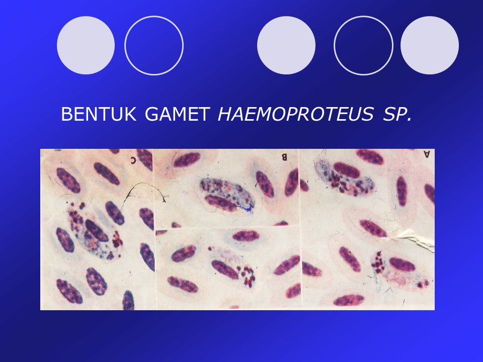 BENTUK GAMET HAEMOPROTEUS SP.