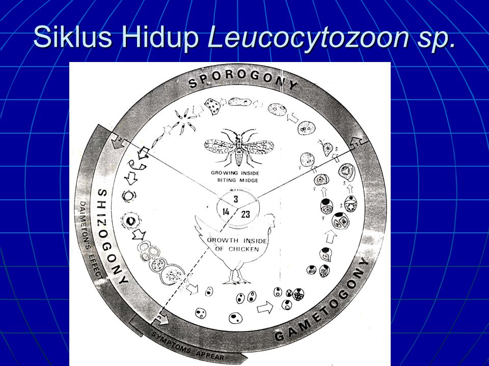 Siklus Hidup Leucocytozoon sp.