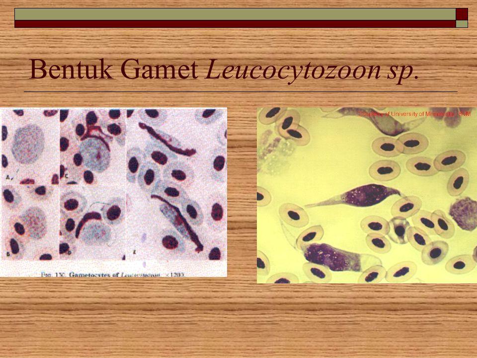 Bentuk Gamet Leucocytozoon sp.