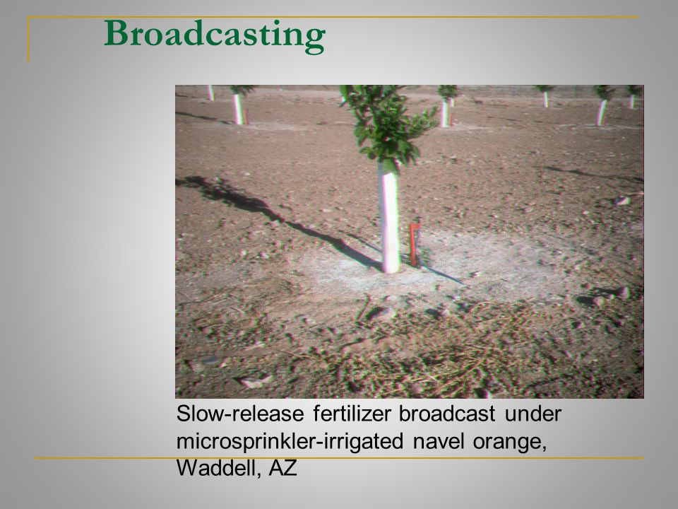Broadcasting Slow-release fertilizer broadcast under microsprinkler-irrigated navel orange, Waddell, AZ.
