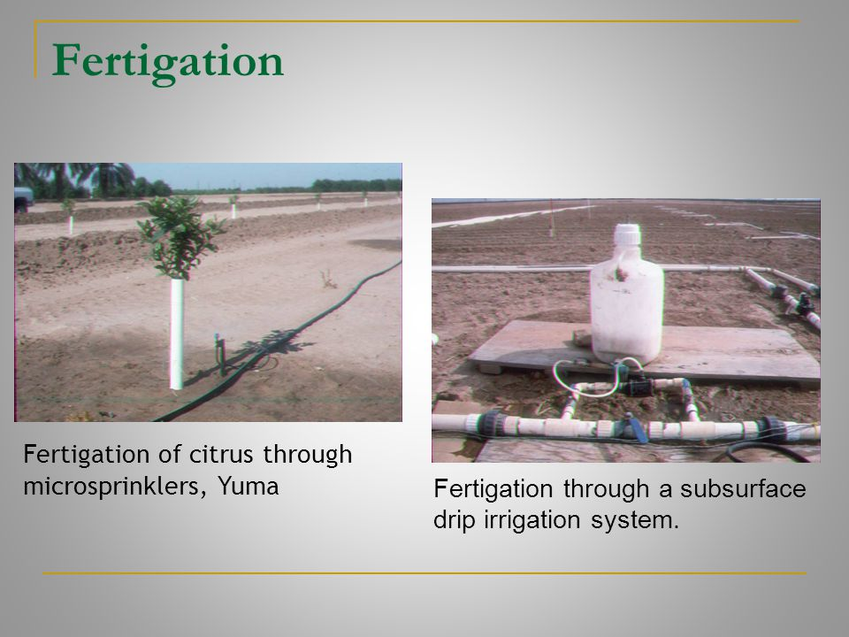 Fertigation Fertigation of citrus through microsprinklers, Yuma