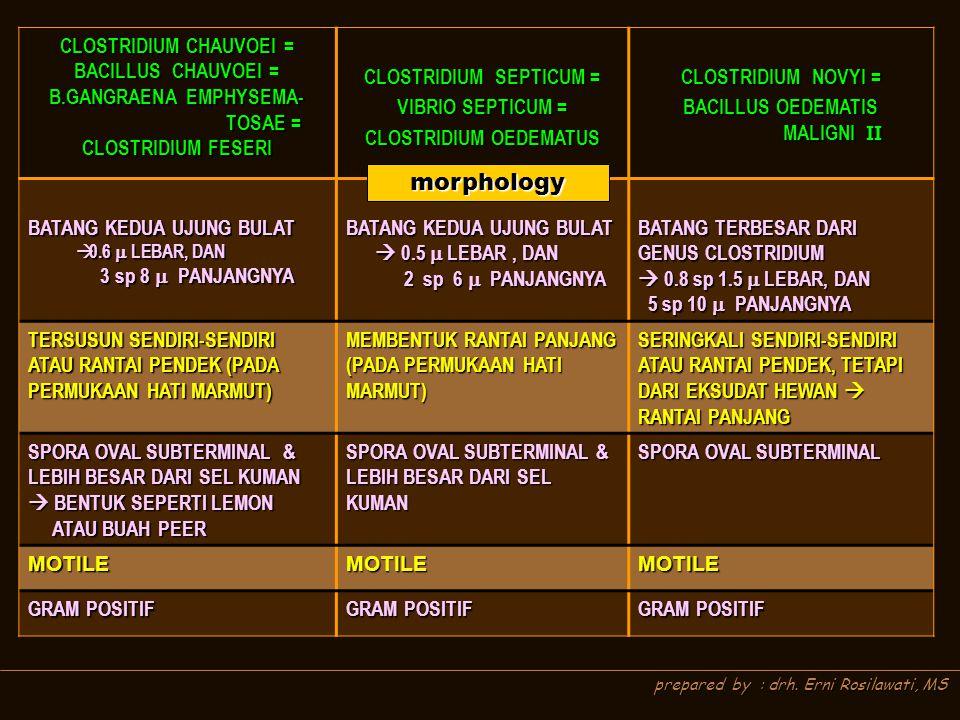 morphology CLOSTRIDIUM CHAUVOEI = BACILLUS CHAUVOEI =