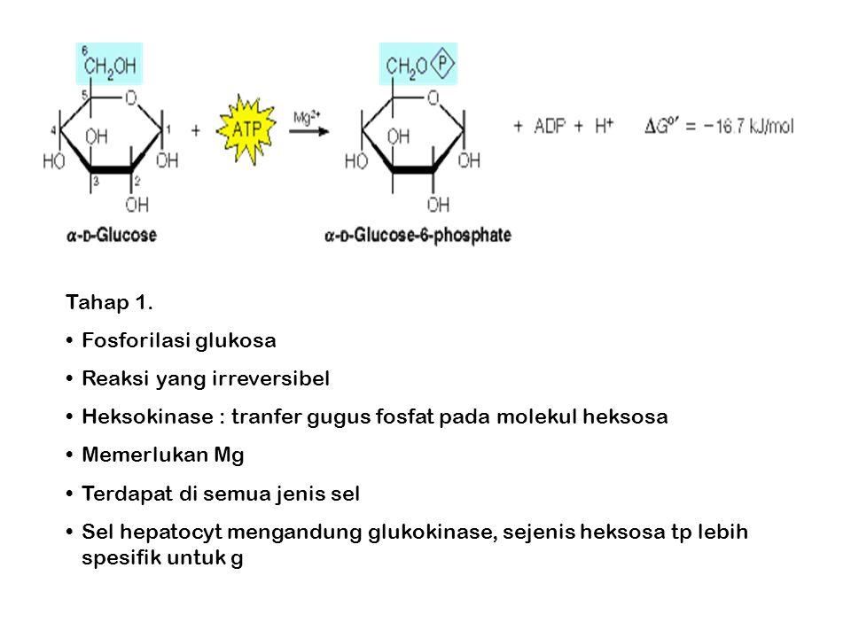 Tahap 1. Fosforilasi glukosa. Reaksi yang irreversibel. Heksokinase : tranfer gugus fosfat pada molekul heksosa.