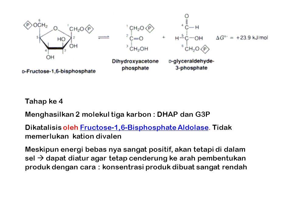 Tahap ke 4 Menghasilkan 2 molekul tiga karbon : DHAP dan G3P. Dikatalisis oleh Fructose-1,6-Bisphosphate Aldolase. Tidak memerlukan kation divalen.