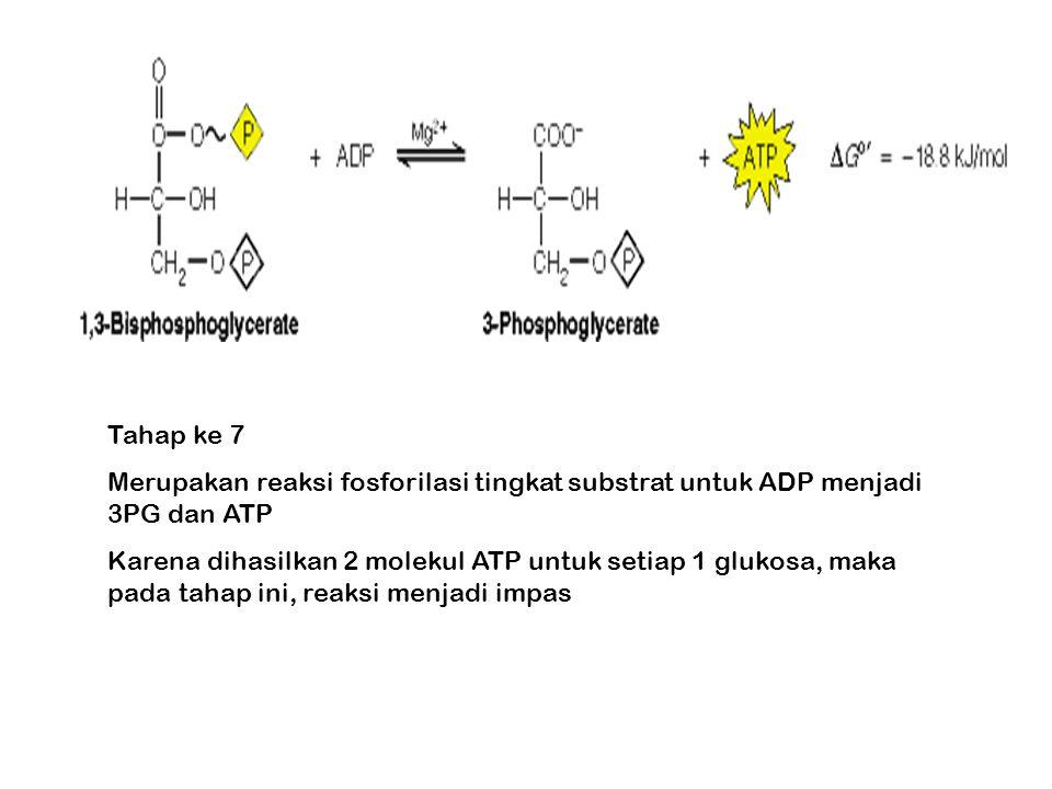 Tahap ke 7 Merupakan reaksi fosforilasi tingkat substrat untuk ADP menjadi 3PG dan ATP.