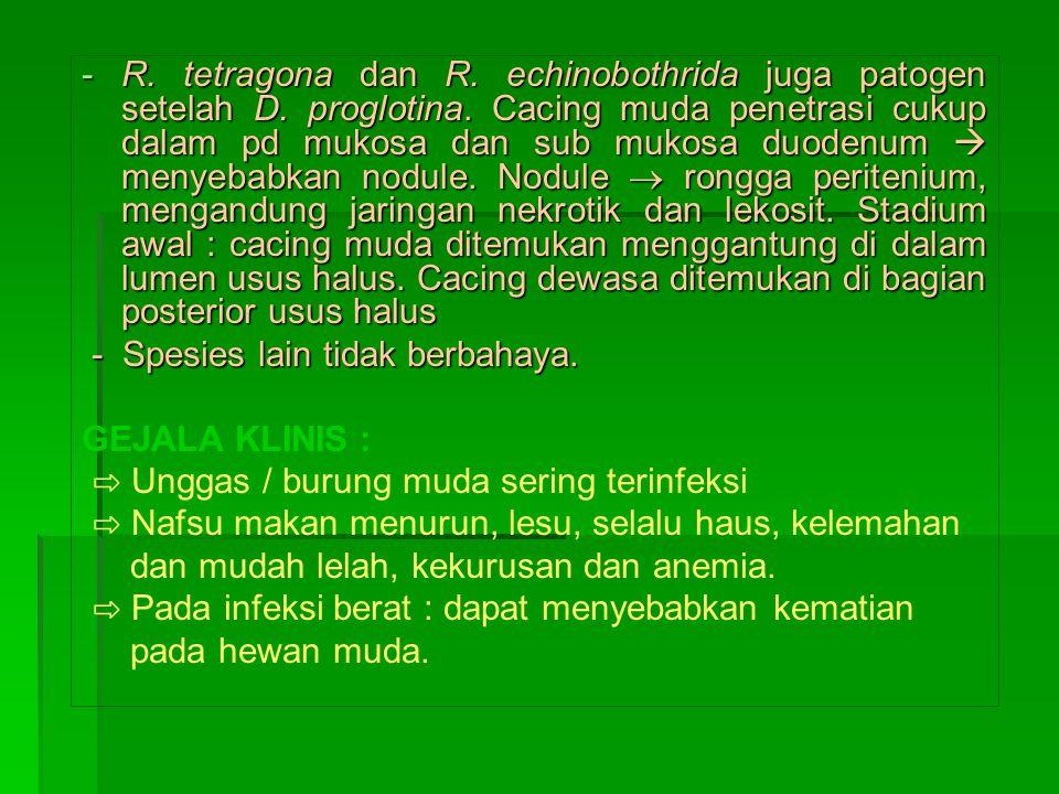 R. tetragona dan R. echinobothrida juga patogen setelah D. proglotina