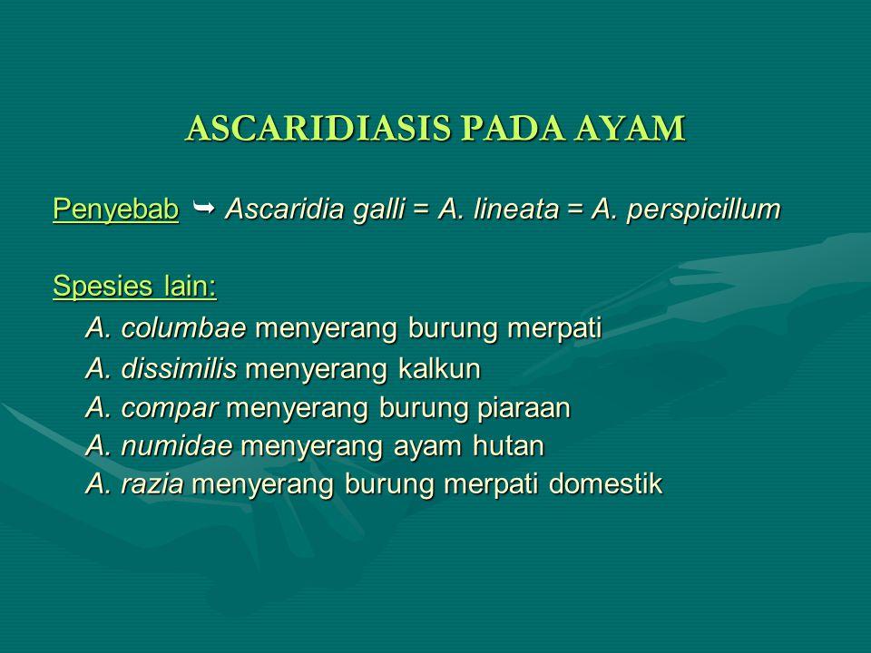 ASCARIDIASIS PADA AYAM