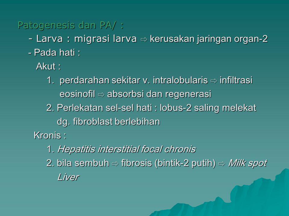 Patogenesis dan PA/ : - Larva : migrasi larva ⇨ kerusakan jaringan organ-2. - Pada hati : Akut :