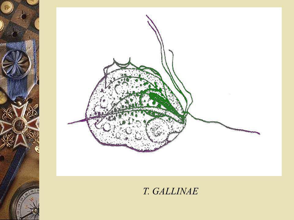 T. GALLINAE