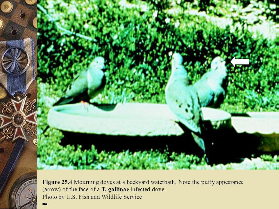 Figure 25. 4 Mourning doves at a backyard waterbath