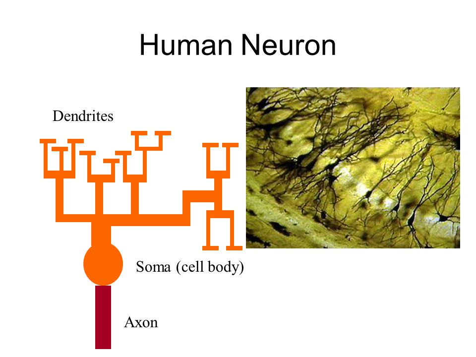 Human Neuron Dendrites Soma (cell body) Axon