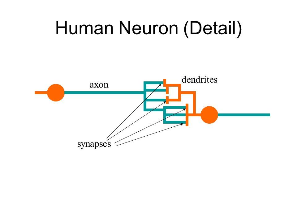 Human Neuron (Detail) dendrites axon synapses