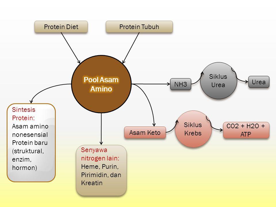 Pool Asam Amino Siklus Urea Protein Diet Protein Tubuh Asam Keto