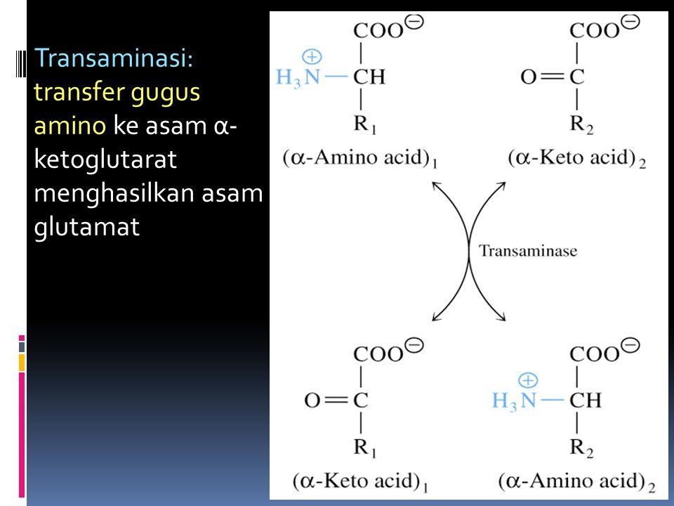Transaminasi: transfer gugus amino ke asam α- ketoglutarat menghasilkan asam glutamat