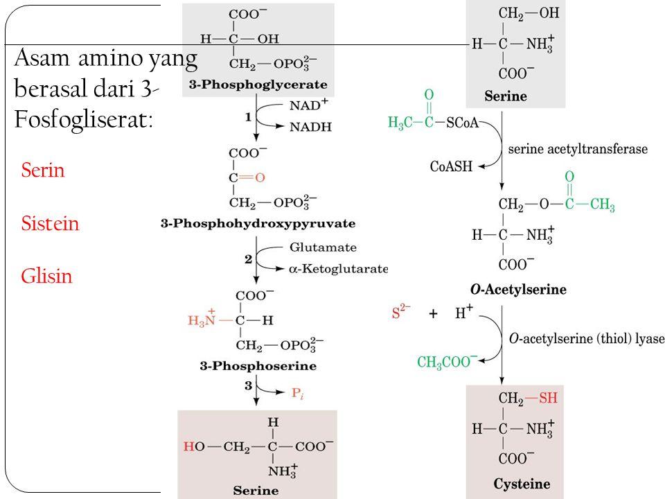 Asam amino yang berasal dari 3-Fosfogliserat: