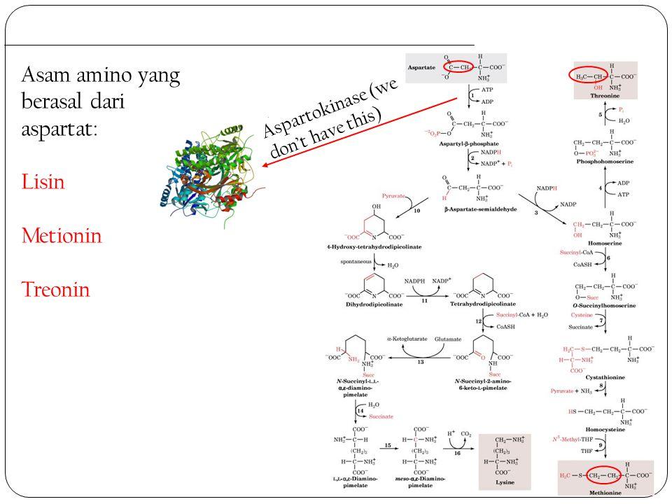 Asam amino yang berasal dari aspartat: