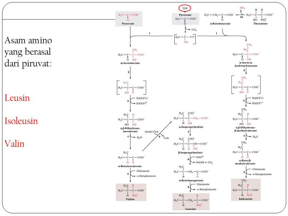 Asam amino yang berasal dari piruvat: