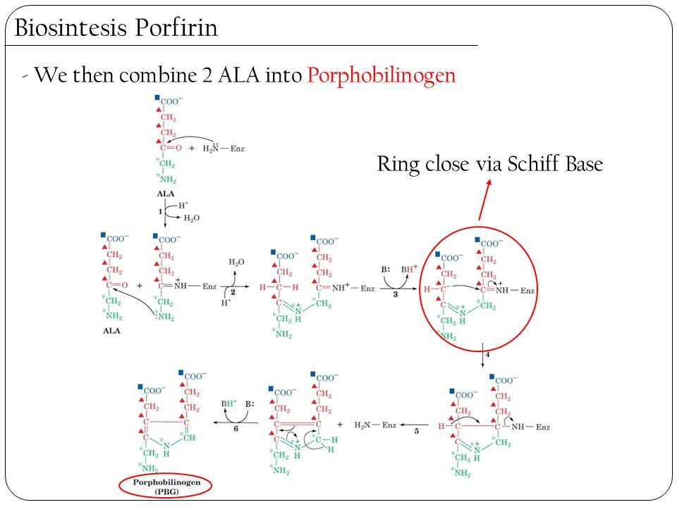 Biosintesis Porfirin - We then combine 2 ALA into Porphobilinogen